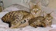 Здоровые и красивые экзотические котята на продажу