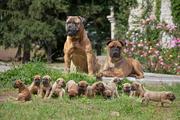 Продаются щенки бульмастифа