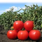 Cемена Китано. Предлагаем купить семена томата KS 829 F1