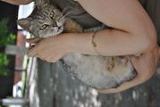 котята от кошки породы скоттиш-страйт отдам в хорошие руки