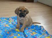 Продаются высокопородные щенки фила бразилейро