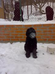 Продам щенка русского черного терьера